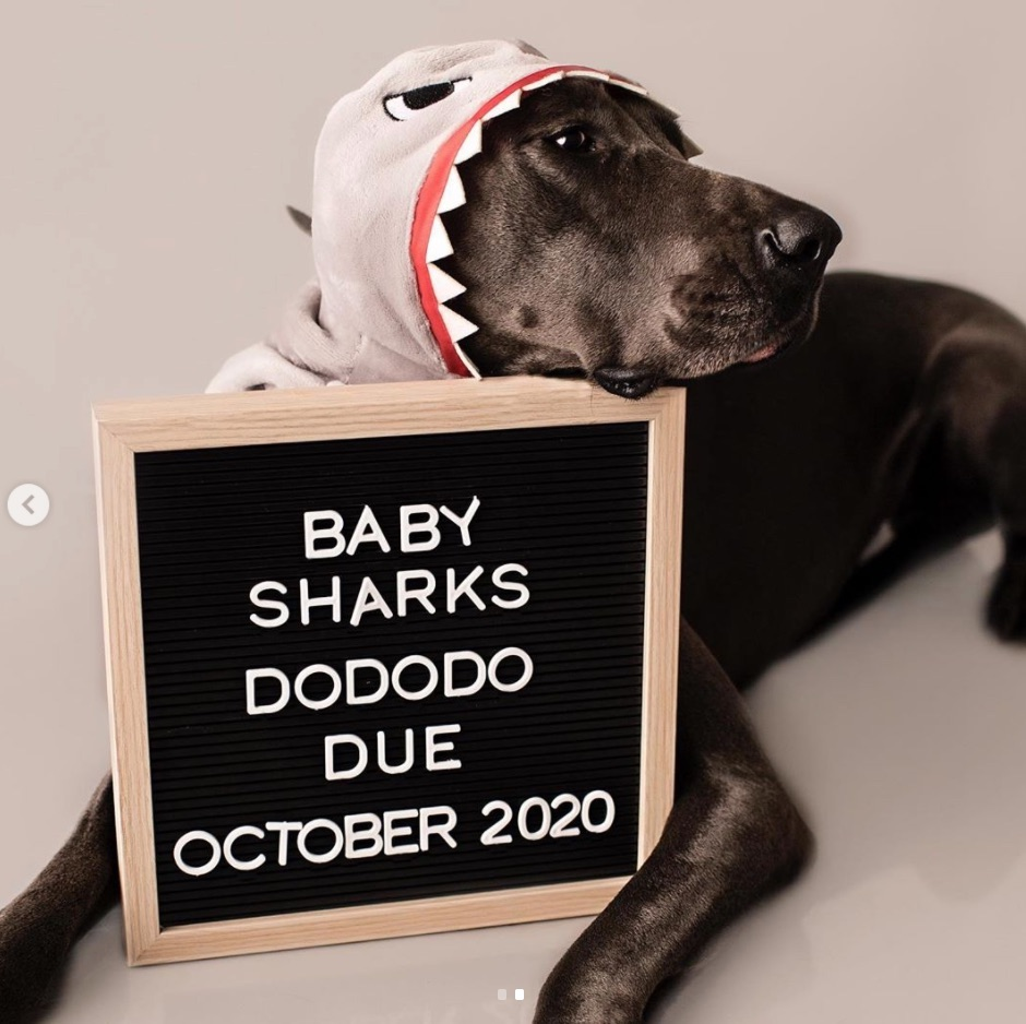Dog pregnancy announcement with baby shark towel and letter board
