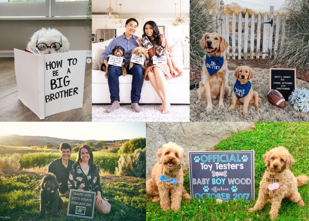 dog pregnancy announcement collage photos