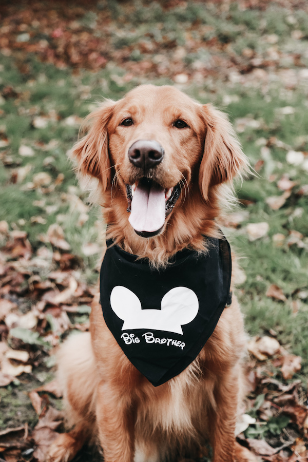 dog pregnancy announcement with Disney bib
