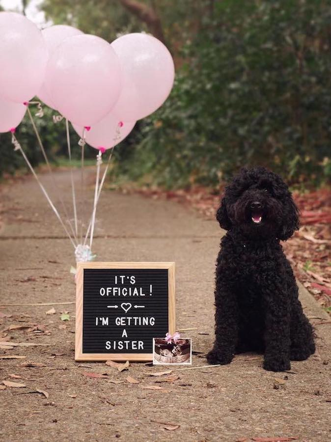 dog pregnancy announcement with dog and balloons