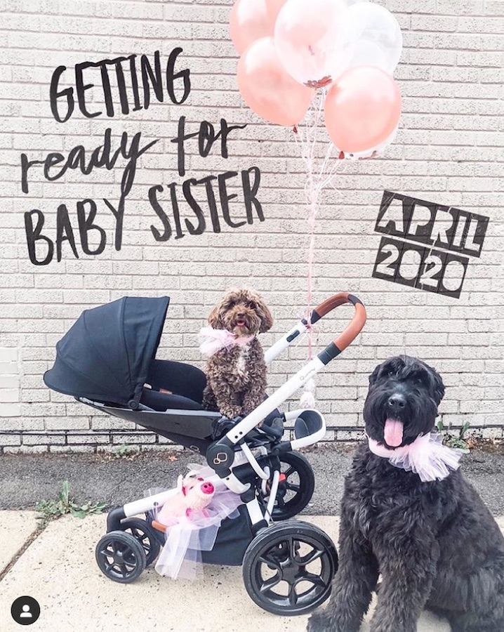 dog pregnancy announcement - dogs in scooter with pink balloons