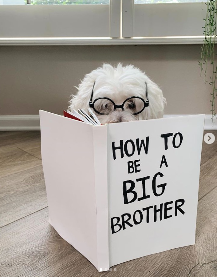 dog reading a book to announce being a big brother
