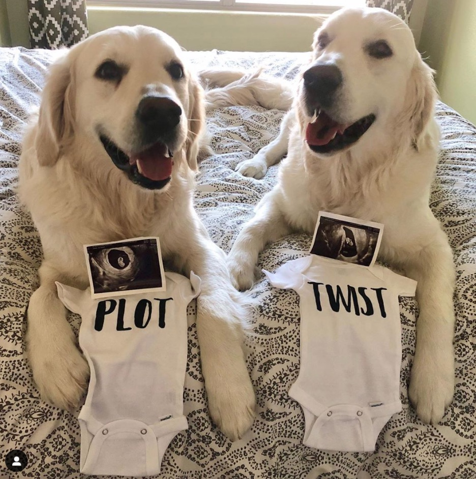 dogs with baby onesies for twin pregnancy announcement